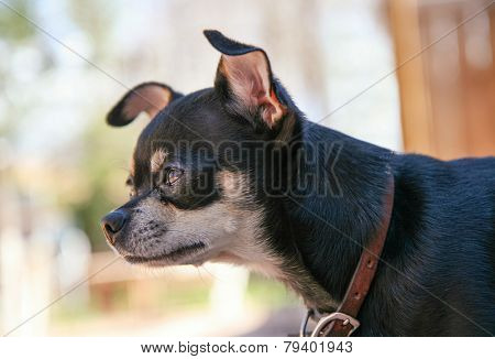 a cute chihuahua in a window