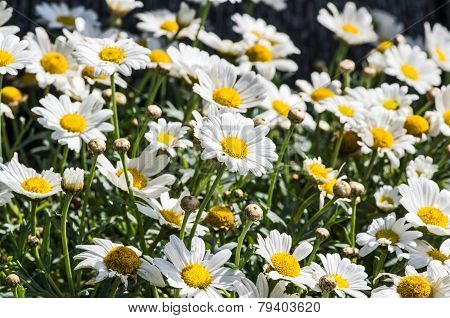 Blooming marguerites