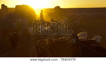 Bringing the goats in for milking as the sun goes down. Gobi, Kazakh Mongolia.