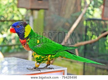 Beautiful Colorful Blue Headed Parrot