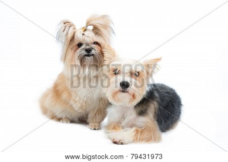 pair small dogs isolated on white background