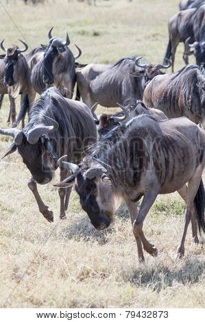 Wildebeests running and fighting