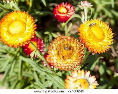 Strawflower  In The Garden