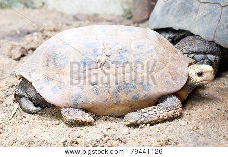 Elongated Tortoise Turtle.