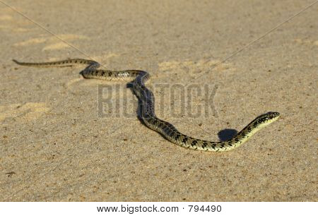 Snake (Liophis Anomalus)