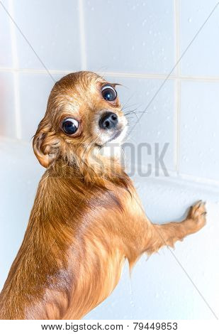 funny wet chihuahua dog in bath