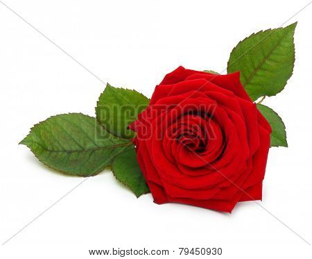 Single red rose flower with leaf on white background