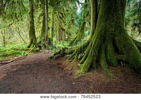 Large Tree covered by moss in Olympic national park