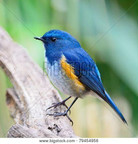 Male Himalayan Bluetail