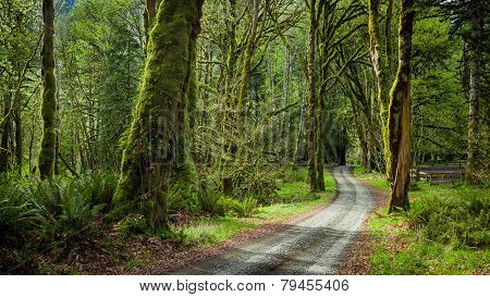 Deep Forest In Elwha River Trail, Olympic National Park