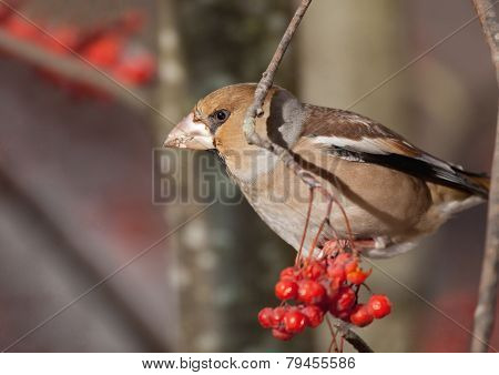 The bird the grosbeak sits on a tree branch