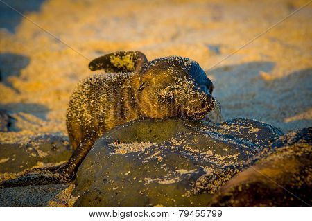 baby sea lion at sunset in galapagos islands