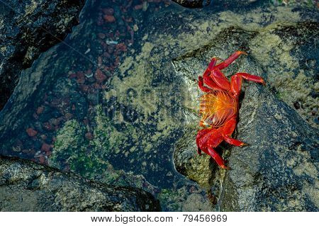 red crab walking on rocks