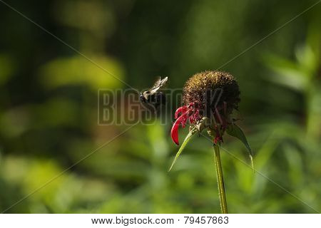 Bumble Bee hovering next to cone flower