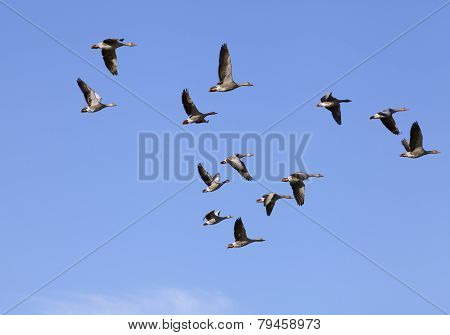 Greylag geese in flight.