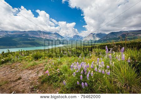 Mountain And Wild Flower In Spring, Glacier National Park