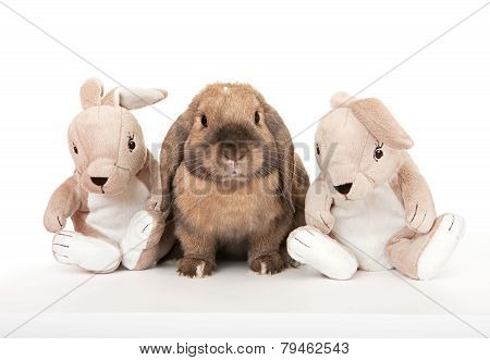Dwarf rabbit in the company of toy rabbits.