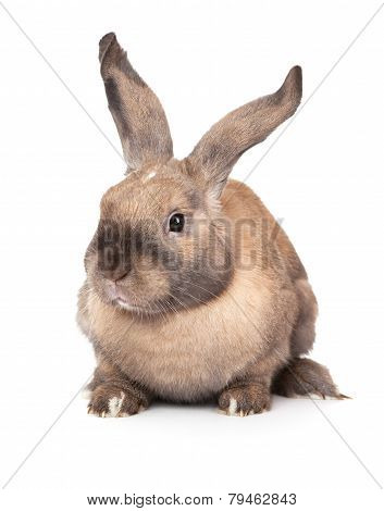 Rabbit with raised ears.