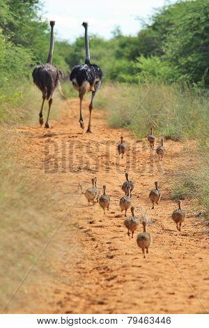 Ostrich - African Wild Bird Background - Running After Parents