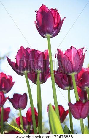 Crimson Tulips On Blue Sky