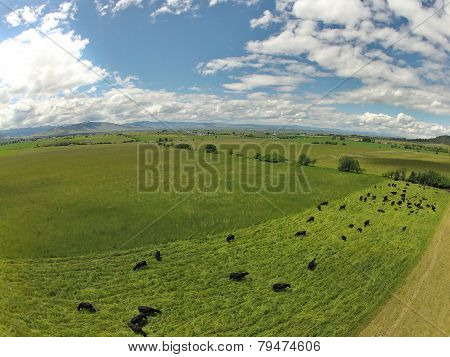 Aerial of cows grazing in green fields
