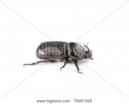 Rhinoceros Beetle Isolated On White Background