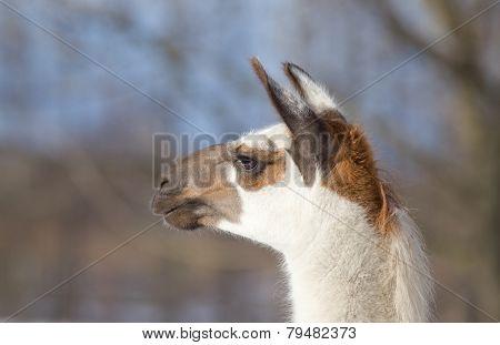 Lama's Head