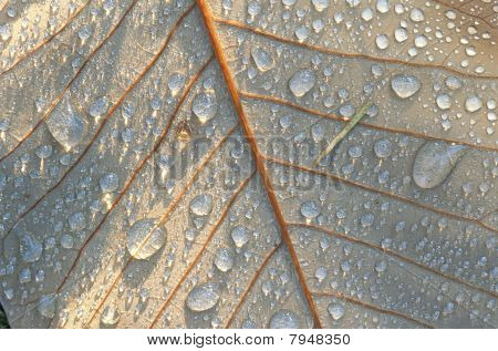 walnut leaf