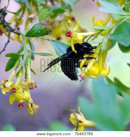 Carpenter Bee Xylocopa In The Nature