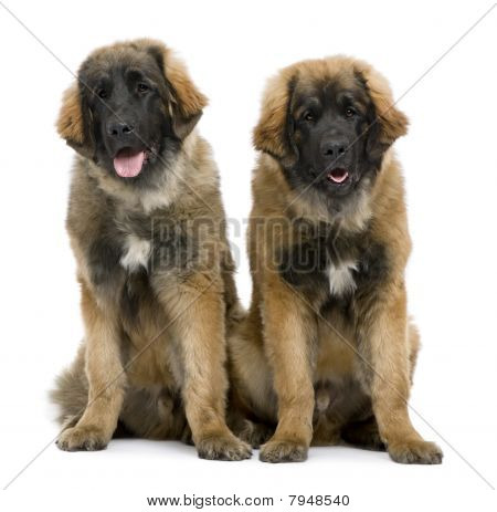 Leonbergers Sitting Side By Side Against White Background