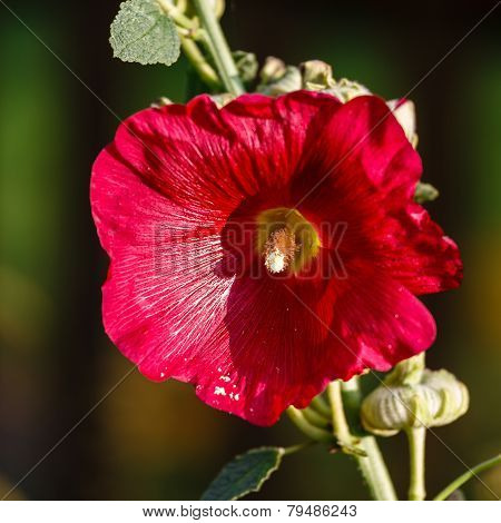 Red Mallow