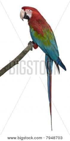 Red-and-green Macaw Perching On Branch In Front Of White Background