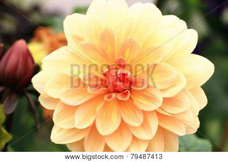 Dahlia flower,closeup