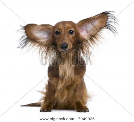 Dachshund, 2 Years Old, With Ears In The Air, In Front Of White Background