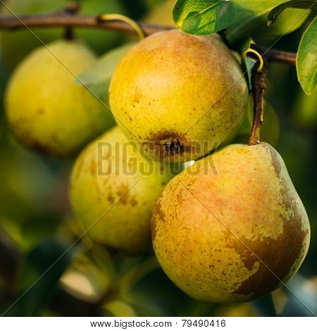 Fresh Green Pears On Pear Tree Branch, Bunch