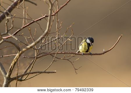 Great tit perched on a branch, singing - talking to his mate