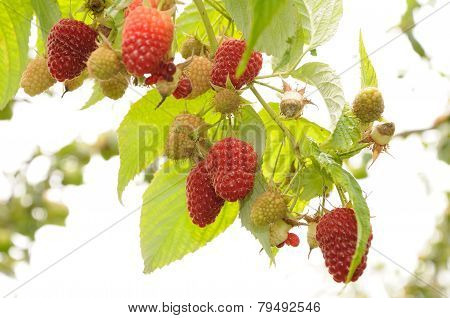 Branch Of Red Raspberry