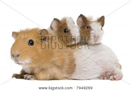 Mother Guinea Pig And Her Two Babies Against White Background