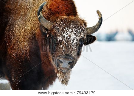 european bison outdoor in winter