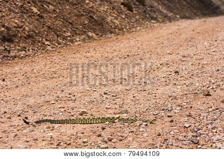 Rattlesnake On Road