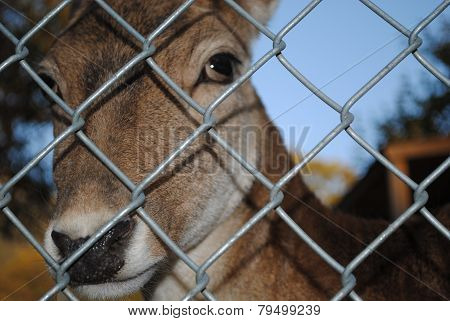 Deer behind a fence