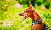 image of miniature pinscher  - Close Up Red Dog Miniature Pinscher Zwergpinscher - JPG
