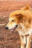 picture of stray dog  - close up face of stray dog on nature