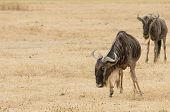 image of wildebeest  - Two wildebeests standing - JPG