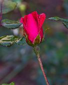 stock photo of woodstock  - Red rose bud wet with rain and dew