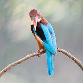 picture of throat  - Beautiful Kingfisher blue bird White - JPG