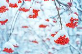 picture of mountain-ash  - Winter background with a bright snowy mountain ash - JPG