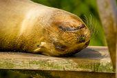 picture of sea lion  - sea lion in san cristobal galapagos islands ecuador closeup - JPG