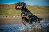 pic of border terrier  - gundog - JPG