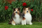 pic of sheltie  - Two Shelties posing for the camera with flowers in the background.